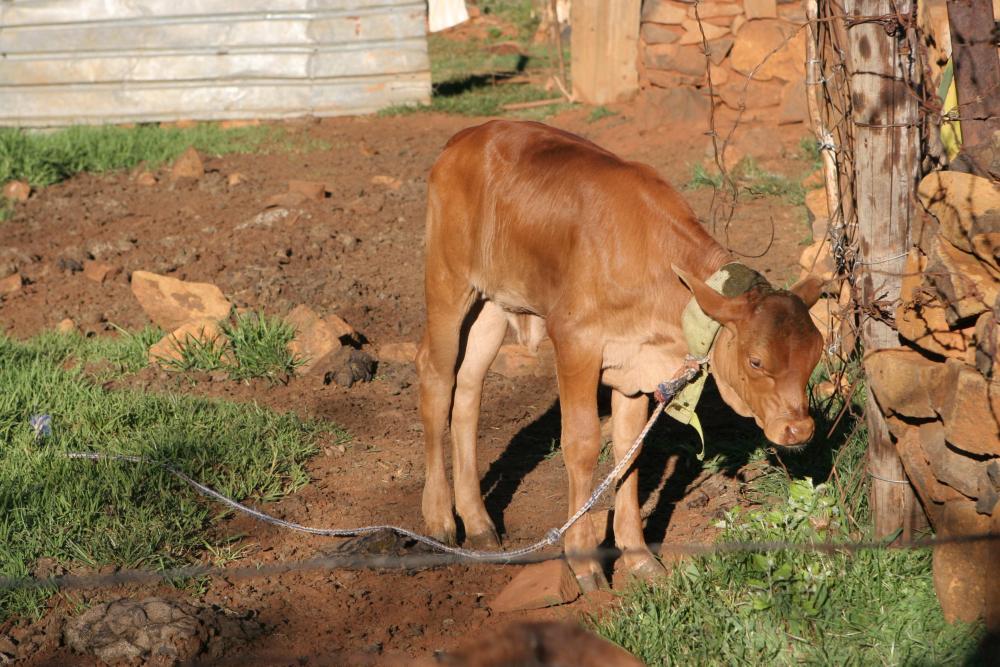 51 Lesotho Malealea Calw.jpg