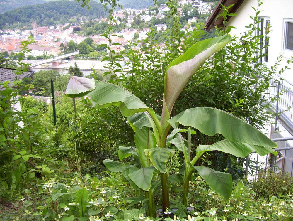 Banane 003.jpg