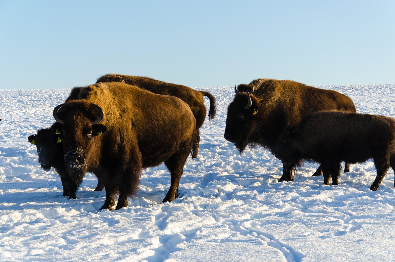bison1.jpg