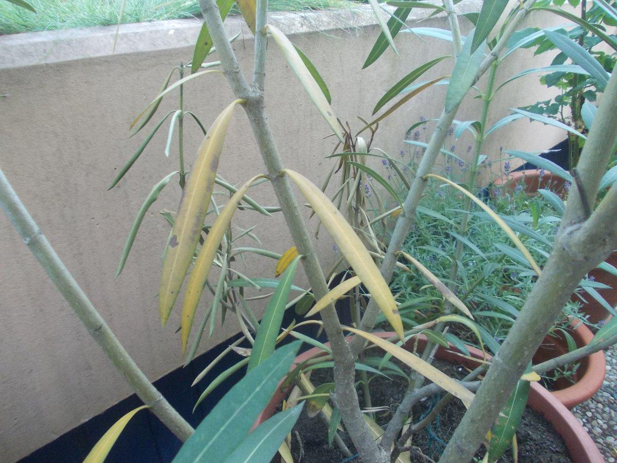 oleander gelbe bl tter warum der oleander gelbe bl tter. Black Bedroom Furniture Sets. Home Design Ideas