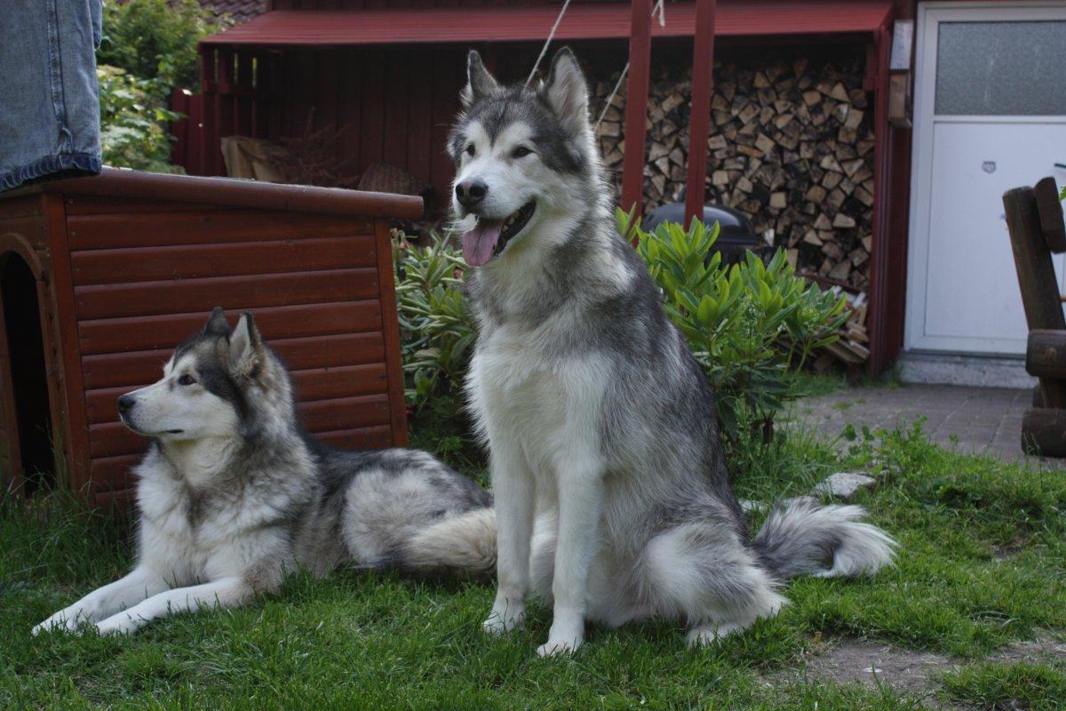 Fleischschutzhunde.JPG