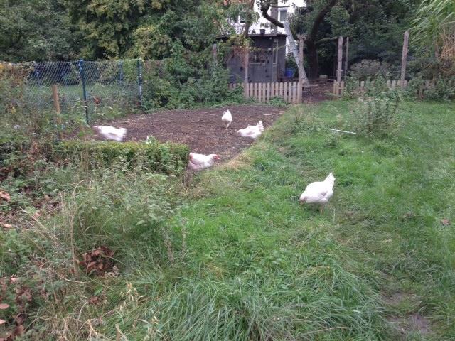 hühner.jpeg