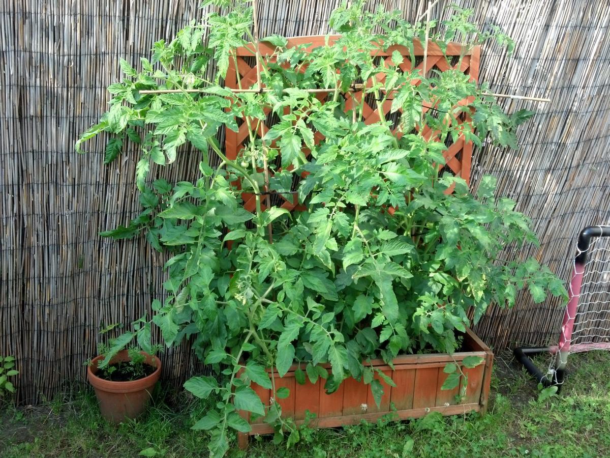 tomatenpflanzen beschneiden oder wachsen lassen. Black Bedroom Furniture Sets. Home Design Ideas