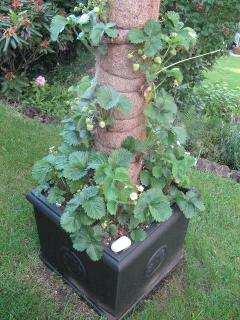 erdbeeren im rohr pflanzen