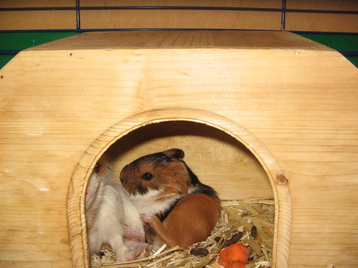 Meerschweinchen und Wilhelma 2011 004.jpg