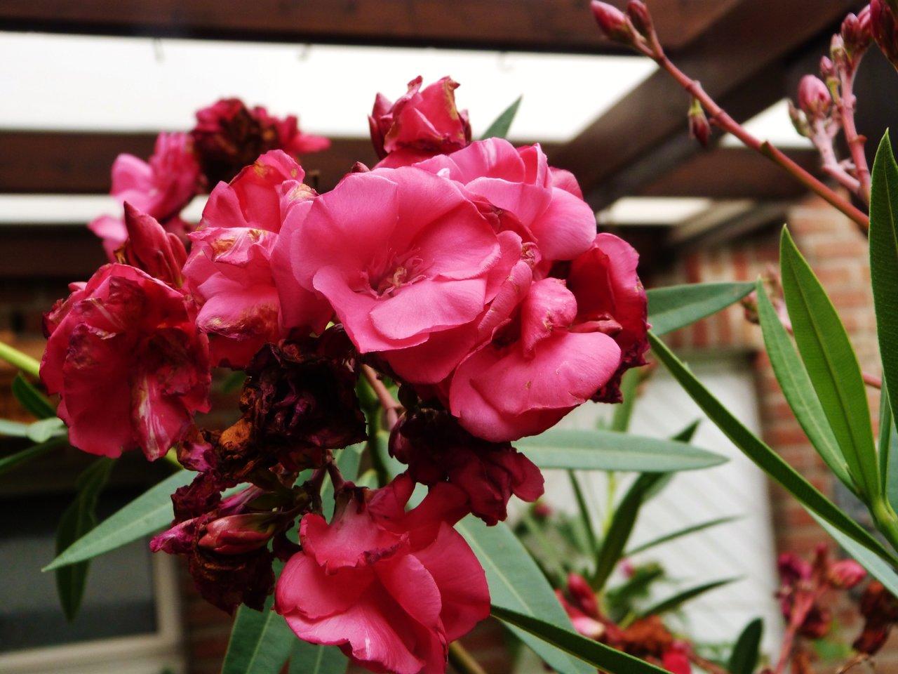 Oleander Geant de Bataille.jpg