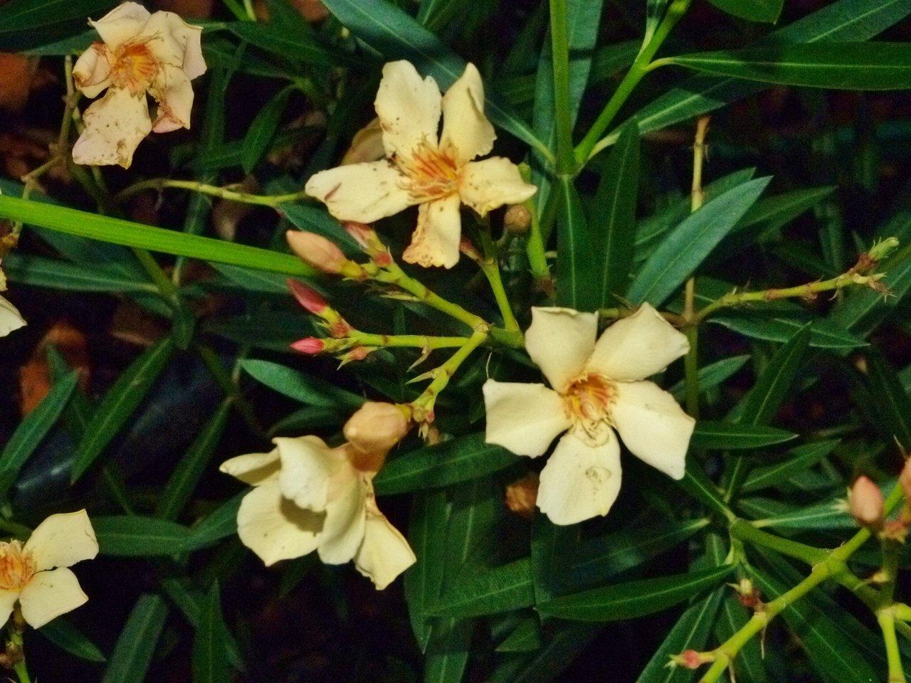 Oleander gelb.jpg