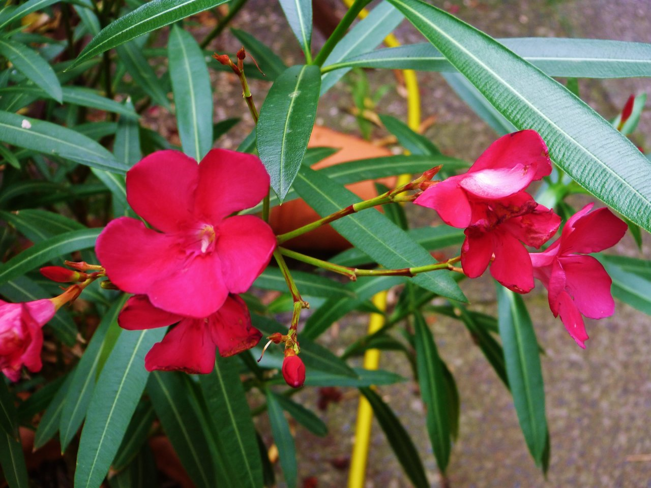 Oleander rot.jpg