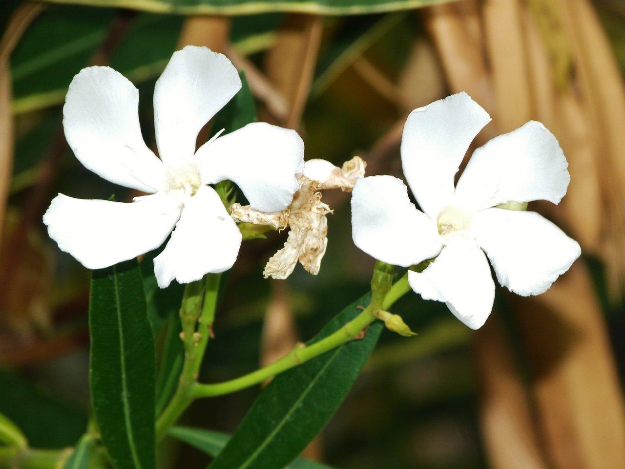 Oleander weiß.jpg
