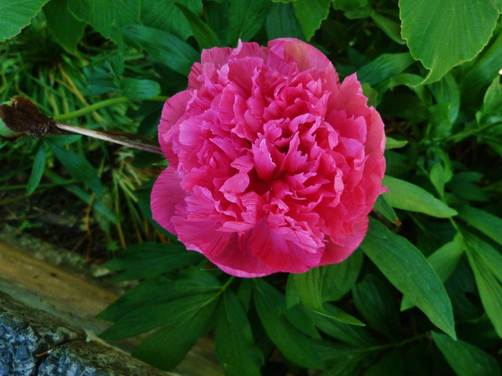Paeonia pink.jpg