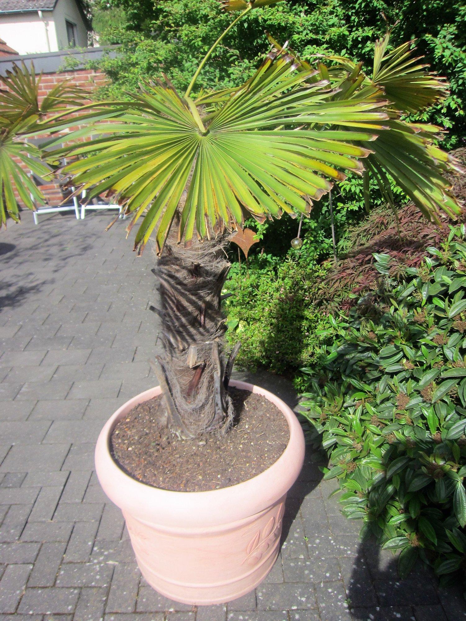 Palme 1.jpg